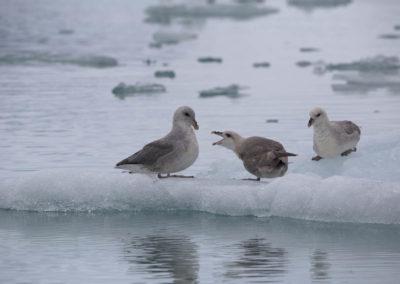 Fulmar boréal vers le glacier du 14 juillet