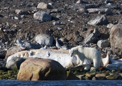 Ours et cachalot dans le Smeerenburgfjord Danskoya (île des danois)