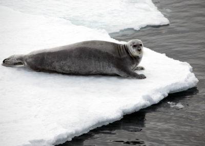 Phoque barbu  sur la banquise, Moffen 80°45 de latitude Nord