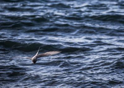 Sterne arctique à la pêche