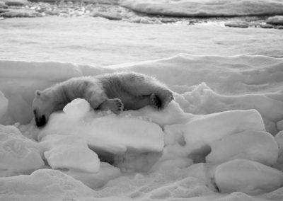 Ours sur son hummock au nord de l'île de Svenskøya