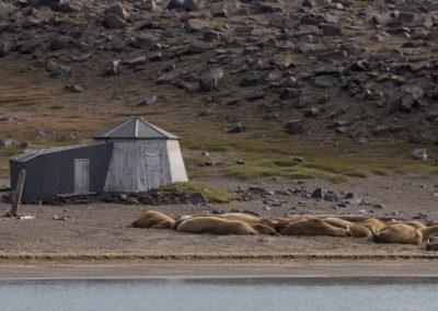 Cabane de trappeurs et morses à la sieste