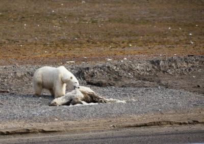 Ours polaire dévorant la carcasse de son congénère