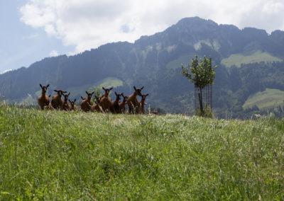 """Chèvres """"à l'herbe"""""""