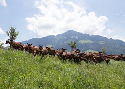 """Chèvres """"à l'herbe"""" avec Dent de Broc en décor"""