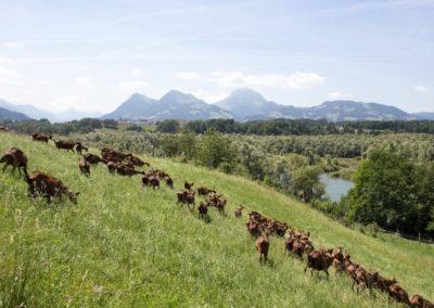 """Chèvres """"à l'herbe"""" avec Moléson en décor"""