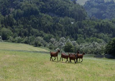 Chèvres en quête d'herbe
